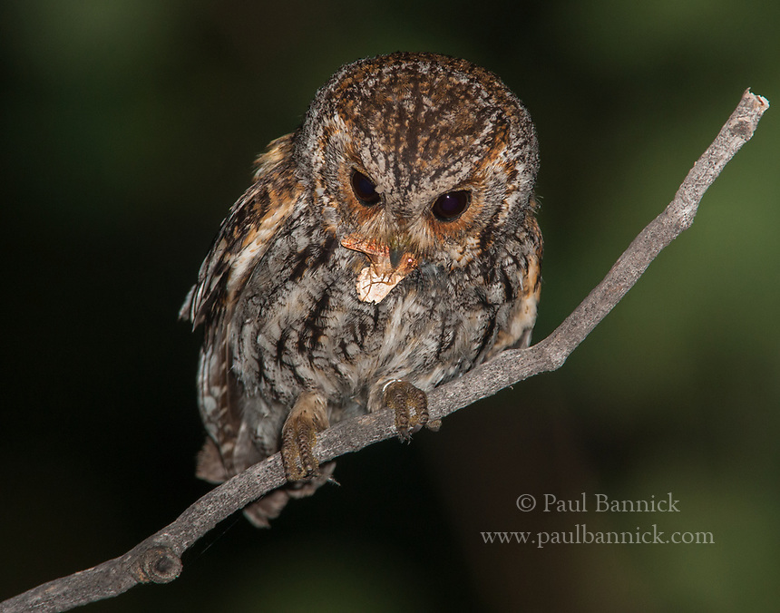Owlet moths, like the one captured by this Flammulated Owl, are able to fly in subfreezing temperatures and are thus this owl&rsquo;s most<br />important food item early in the breeding season.