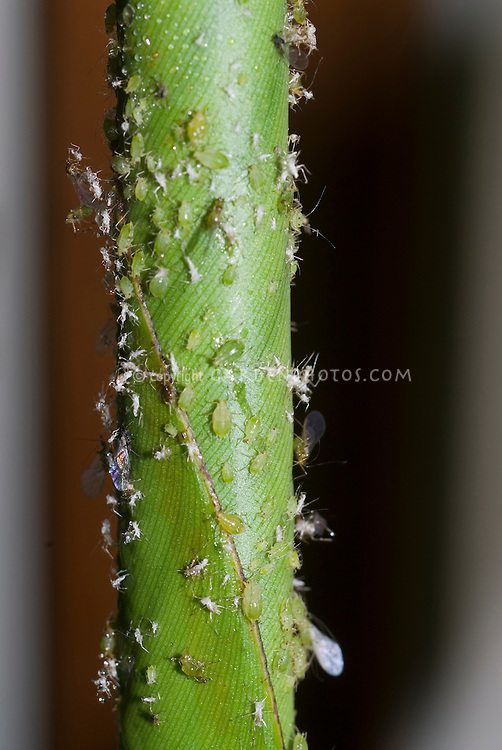Aphids in various stages of life cycle, including winged