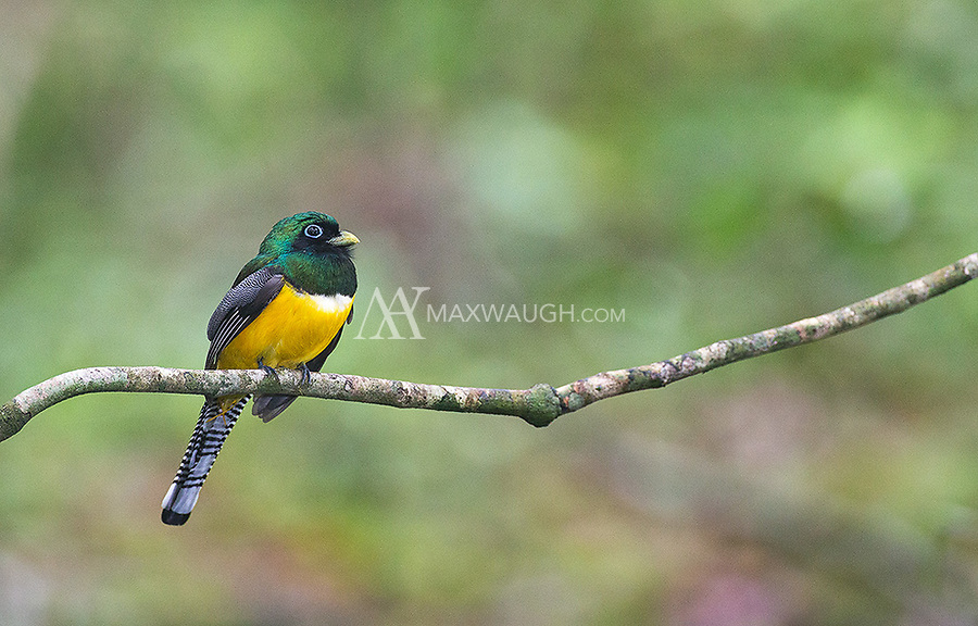 This is the most common trogon species I see during my Costa Rica visits, usually on the Osa Peninsula.