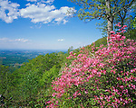 Blue Ridge Parkway, VA<br /> Pink Azalea (Rhododendron nudiflorum) and distant view of the Shennandoah River Valley