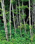 Olympic National Park, WA:  Red Alder (Alnus rubra) grove at the dark forest edge
