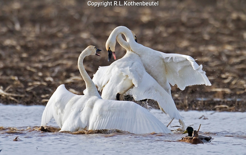 Tundra swans fighting on their winter feeding grounds.<br />