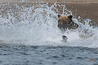 Silver Salmon escapes Brown Bear (Ursus arctos) while forlorn bear looks on helplessly, Lake Clark National Park, Alaska