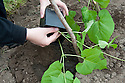 Planting out runner bean seedlings. Sequence 2, image 1 of 5.