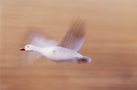 Snow Goose, Chen caerulescens,adult in flight, Bosque del Apache National Wildlife Refuge , New Mexico, USA