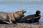 Bull elephant seal with wound on neck from net,  rescue of elephant seal