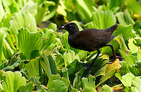 Immature Black Crake on water cabbage,  Grumeti, Tanzania, East Africa