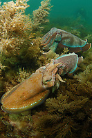 Giant Cuttlefish, Sepia apama, mating pair at breeding aggregation, small male pretended to be a female to sneak passed a larger male behind that was guarding the female, Point Lowly, Whyalla, South Australia, Australia, Spencer Gulf, Southern Ocean