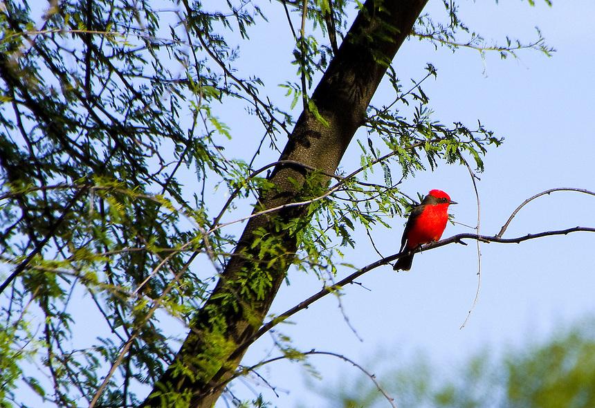 Vermilion flycatcher, Big Bend National Park, Texas