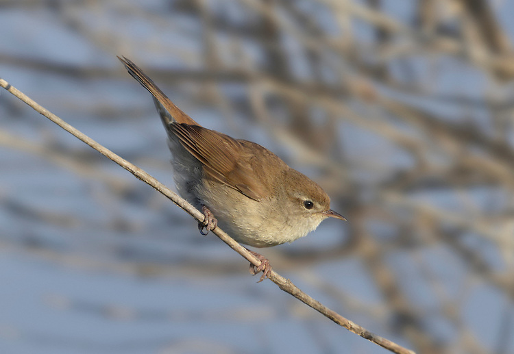 Cetti's Warbler - Cettia cetti. L 14cm. Unobtrusive wetland warbler whose loud song is heard more than bird is seen. Sexes are similar. Adult and juvenile have dark reddish brown upperparts, including tail. Underparts are pale: has whitish throat, grey face and breast, grey-buff belly. Legs are reddish and bill is dark-tipped. Voice Utters a loud pluut call. Song is explosive chee, chippi-chippi-chippi. Most vocal in spring but snatches of song are heard at other times. Status Recent colonist, now a local resident of scrubby margins of marshes and clumps of bushes in extensive reedbeds.