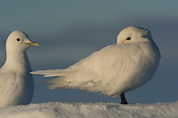 Ivory gulls, Pagophila eburnea, Svalbard, Norway, Arctic