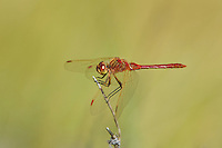 362740003 a wild male saffron-winged meadowhawk dragonfly sympetrum costiferum perches on a dead stick at de chambeau ponds mono county califorina united states