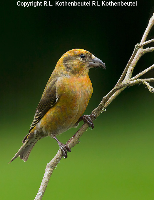 Red crossbill (Loxia curvirostra) Immature male showing a few orange-colored feathers appearing in his yellow breast. The yellow coloration of this bird is much brighter than that of a female.<br />