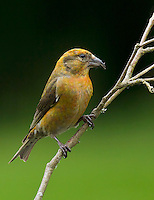 Red crossbill (Loxia curvirostra) Immature male showing a few orange-colored feathers appearing in his yellow breast. The yellow coloration of this bird is much brighter than that of a female.<br /> Woodinville, King County, Washington State<br /> 5/27/2012