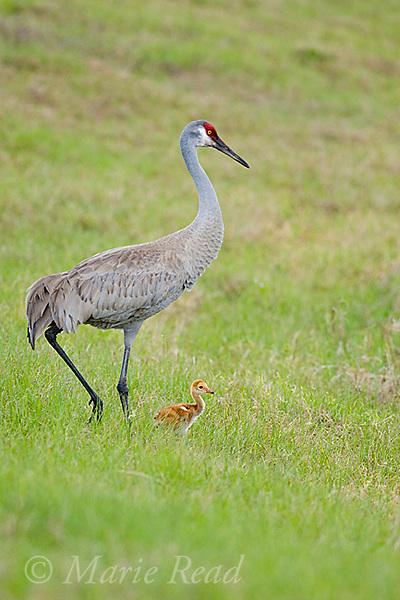 Sandhill Crane (Grus canadensis), Florida race, adult with chick, Orlando, Florida, USA