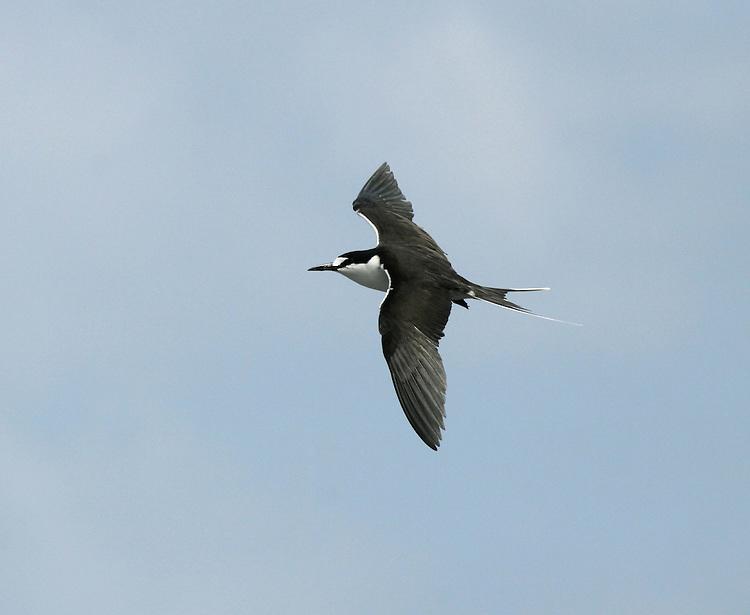 Sooty Tern - Onychoprion fuscatus