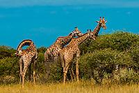 Giraffes eating leaves from trees, Nxai Pan National Park, Botswana.