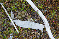 Black Turnstone (Arenaria melanocephala) nest amongst driftwood. Yukon Delta National Wildlife Refuge, Alaska. June.