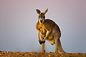 Australia,  NSW, Sturt National Park; red kangaroo male at dusk (Macropus rufus); the red kangaroo population increased dramatically after the recent rains in the previous 3 years following 8 years of drought
