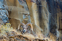 Bighorn Sheep Ram (Ovis canadensis) resting on steep hillside ledge.  North Central Oregon.  Fall.  These sheep were formerly known as California Bighorn, but are now classified with Rocky Mountain Bighorn.