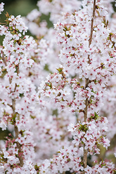 Prunus (Mat to confirm variety)