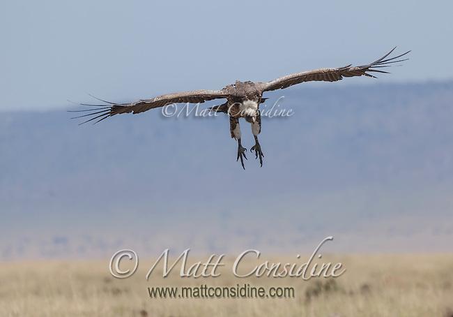 An African white-backed vulture in flight, Kenya, Africa (photo by Wildlife Photographer Matt Considine)