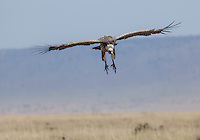An African white-backed vulture in flight, Kenya, Africa (photo by Wildlife Photographer Matt Considine)