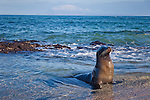 A juvenile sea lion basking in shallow water on Fernadina Island in the Galapagos National Park, Galapagos, Ecuador, South America