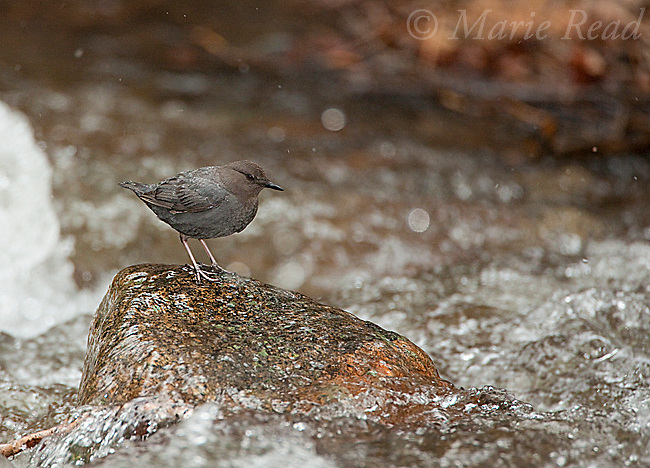 American Dipper (Cinclus mexicanus), perched on a rock in a rushing creek, Mono Lake Basin, California, USA
