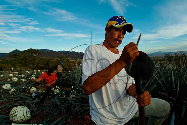 Called a Coa or coa de jima, the sharp, round-ended tool is used by the jimador (harvester) to cut the leaves (pencas) off the pin?a or cabeza (head) of the agave. Santa Cruz de Barcenas just outside of Guadalajara, Mexico