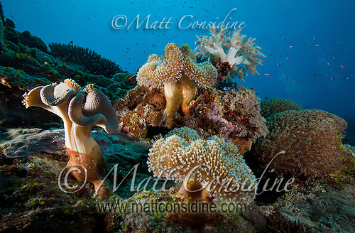 Coral garden, including a variety of soft leather and cauliflower corals, Yap Micronesia. (Photo by Matt Considine - Images of Asia Collection) (Matt Considine)
