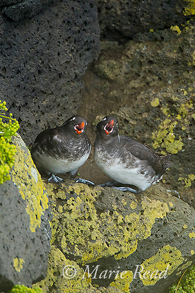 Parakeet Auklets (Aethia psittacula) pair calling together while perched on rock on cliff face, St. Paul Island, Pribilofs, Alaska, USA