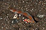 Flagtail shrimp goby (Amblyeleotris yanoi) and shrimp (Alpheus randalli)