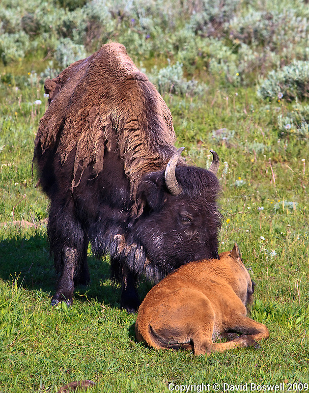 A bison nudges her claf to start moving in Yellowstone National Park.