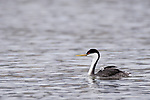 Lake Hodges, Escondido, San Diego, California; a Western Grebe (Aechmophorus occidentalis), with a newborn chick tucked into the feathers on its back, swimming across the surface of the lake