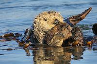 Sea Otter (Enhydra lutris) mom holding pup among kelp.