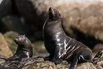 Guadalupe Island, Baja California, Mexico; a pair of Guadalupe fur seals warming themselves on the rocks in early morning sunlight