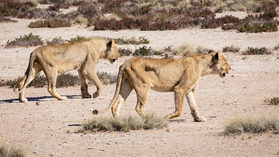 Something Has Caught The Attention Of These Two Young Lions.