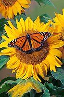 Monarch (Danaus plexippus) butterfly on sunflower, summer, North America.
