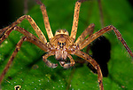 Wandering Spider, Family: Ctenidae, Guayacan, Provincia de Limon, Costa Rica, Amphibian Research Center, night, aggressive, nocturnal, hunter, orange colour.Central America....