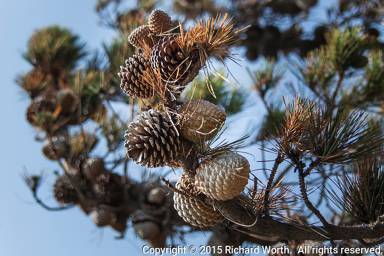 Cones, both open and closed, adorn tree branch on a summer day along the eastern shores of San Francisco Bay.