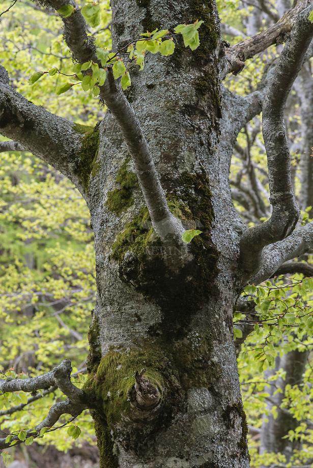 Beuk (Fagus sylvatica) met korstmossen, Triglavski Nationaal Park