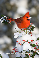 01530-202.06 Northern Cardinal (Cardinalis cardinalis) male in China girl holly (Ilex x. Meserveae 'China Girl')  in winter, Marion Co., IL
