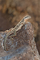 437880006 a wild long-nosed leopard lizard gambelia wislizeni perches on a large rock along chalk bluffs road inyo county california