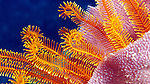 Golden Crinoid inside Blue Vase Sponge