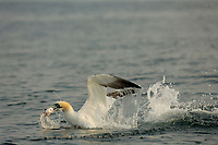 Northern gannet or booby, Morus bassanus, plunge diving and emerging from sea surface with fish in beak, Bass Rock, Scotland, Great Britain, North Sea, Atlantic Oc
