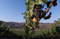 Pinot Noir grapes ripen at Fiddlestix Vineyard, overlooking Santa Rita Hills along Santa Rosa Road,  between Buellton and Lompoc.  The newest new appellation for Santa Barbara County,  Joining the ranks of the federally recognized Santa Maria Valley and Santa Ynez Valley is Santa Rita Hills. These appellations, also known as AVAs (American Viticultural Areas) are defined places of origin and are very important to wine consumers. American appellation law came about in the United States with the federal labeling act of 1982.  ED NOTE: for Russ Parsons Food story.