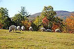 Flock of Sheep Grazing with View of Mt. Skatutakee during Fall Season in Hancock, New Hampshire USA