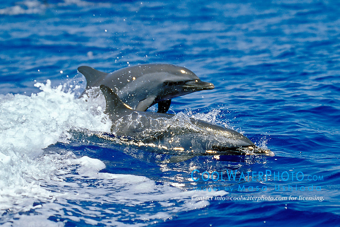 pantropical spotted dolphins wake-riding, Stenella attenuata, off Kona Coast, Big Island, Hawaii, Pacific Ocean.