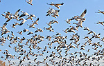 Snow geese (Chen caerulescens) take off en masse shortly after dawn at the Bosque del Apache National Wildlife Refuge, near Socorro, New Mexico.